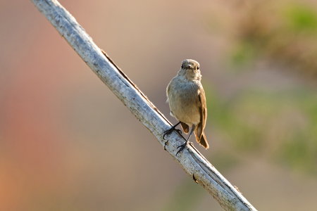 Taiga, red-throated Flycatcher migratory bird in brown perching on dried tree branch with blurred background  in Thailand, Asia (Ficedula albicilla) Stock Photo