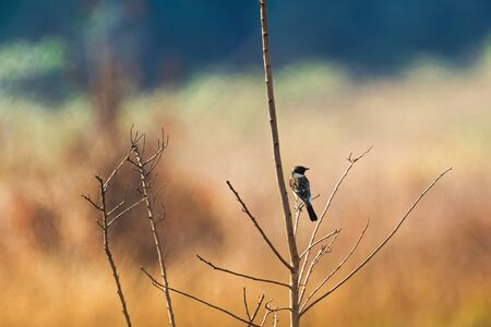 migrated: Back of Siberian Stonechat, Asian stonechat, Old World flycatcher bird sitting on branch all alone with blurred background in Thailand, Asia (Saxicola maurus)    Stock Photo