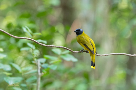 bul: Black-headed bulbul bird in yellow with black head perching on tree branch in forest, summer in Thailand, Asia. (Pycnonotus atriceps)