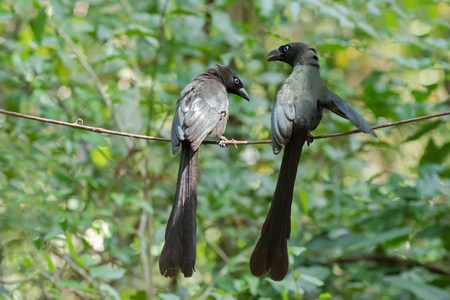 A couple of Racket-tailed treepie bird in black with metallic green and turquoise blue eye having conversation perching on vine in forest, Thailand, Asia (Crypsirina temia)