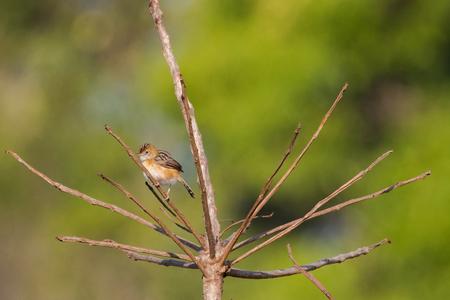 Bright-capped Golden-headed Cisticola bird in golden orange perching on dry branch with blurred green background, Thailand, Asia  (Cisticola exilis)