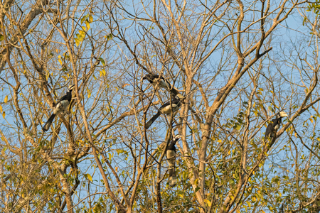 chitchat: Group of male female Oriental pied hornbill bird roosting gather together in the evening on tree branches before sunset in Khao Yai national park, Thailand, Asia