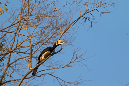 wild asia: Male Oriental pied hornbill bird in black white sitting on tree all alone in wild nature, Thailand, Asia (Anthracoceros albirostris)