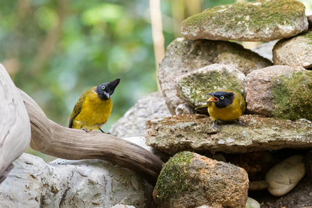 subspecies: Couple of Black-crested bulbul bird in black yellow on stones with one screaming, summer in Thailand, Asia. (Pycnonotus flaviventris)  Stock Photo