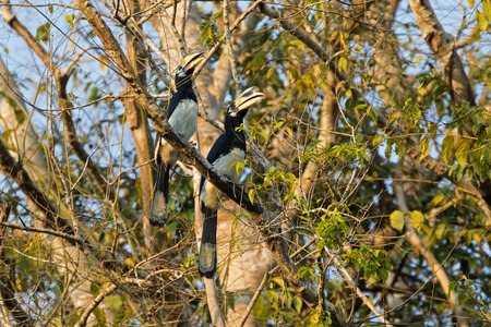 wild asia: Couple of female and male Oriental pied hornbill bird in black white sitting on tree in wild nature in evening, Thailand, Asia (Anthracoceros albirostris)