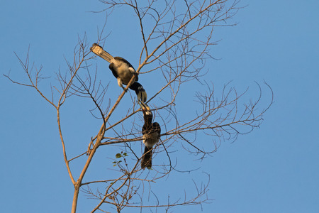 wild asia: Couple of female and male Oriental pied hornbill bird in black white sitting on tree rubbing its beak in wild nature in evening, Thailand, Asia (Anthracoceros albirostris)  Stock Photo