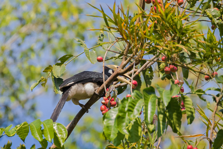 wild asia: Male Oriental pied hornbill bird in black white sitting on tree eating ripe red Pithraj fruit in wild nature, Thailand, Asia (Anthracoceros albirostris)