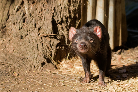 Tasmanian devil walking sniffing the air in the sun, afternoon in Tasmania, Australia (Sarcophilus Harrisii) Stock Photo