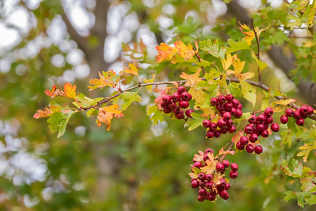 Leaves of Hawthorn plant turning yellow with red berries, also called Thornapple, May-tree, Whitethorn, Hawberry in Autumn in Tasmania, Australia Imagens