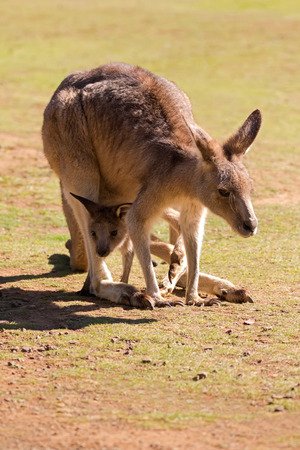Cute Kangaroo with Joey in the pouch standing on green field in the sun, afternoon in Tasmania, Australia
