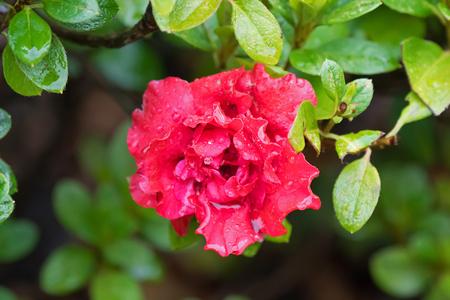 Soft focus of wet Azalea Indica Goyet, frilly double flower in red blooming in garden in Tasmania, Australia Stock Photo