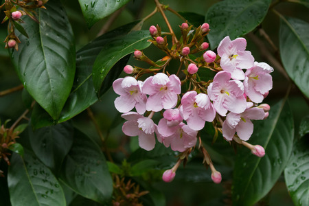 Closeup of Luculia pinceana flowers in pink found from Himalayas, growing in Tasmania, Australia Stock Photo