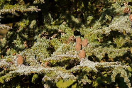 Big pine cones of Cedar Of Lebanon, evergreen conifer tree growing in Tasmania, Australia (Cedrus libani)  Reklamní fotografie