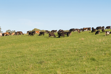 bred: Many dairy Cows in black white brown grazing grass on green farmland field during Autumn in Tasmania, Australia Stock Photo