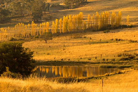 Tall and thin Poplar trees turning to Autumn golden yellow color with reflection on pond during sunset in Tasmania, Australia  Stock Photo