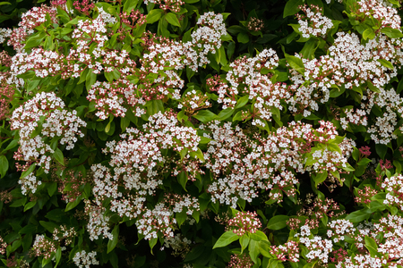 fragrant: Small white flowers with pink buds of Viburnum tinus blossoming inTasmania, Australia