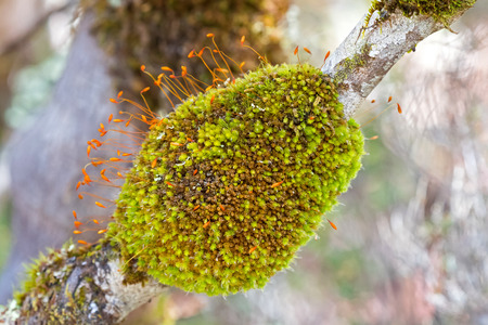 Closeup of green moss tuft lump with Sporophytes and orange capsules covering branch of tree in the forest, Autumn in Tasmania, Australia