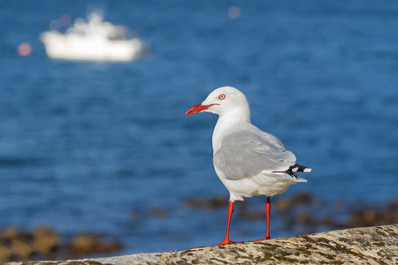 chroicocephalus: Silver Gull seabird with scarlet legs, bill, eye ring standing near sea with blurred yacht background in Tasmania, Australia Stock Photo