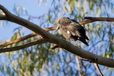 Low angle of Currawong black passerine bird with yellow eyes (known as crow-shrikes, bell-magpies) perching on Eucalyptus branch in Tasmania, Australia