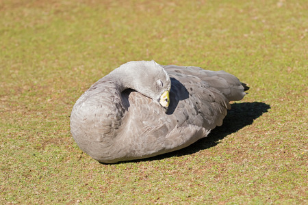 Cape Barren Island Goose with pale gray plumage, yellow cere sunbathing on green grass in afternoon. Cape Barren are rare geese that once were close to extinction (Cereopsis novaehollandiae)