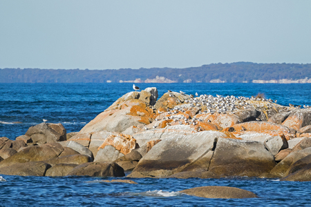 australasian: Lots of Aquatic sea birds - Terns, Gulls, Pacific Gull, Lapwings sunbathing on island at Bay of Fires in Tasmania, Australia