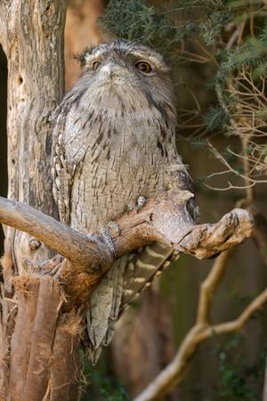 Closeup of Tawny frogmouth with tufts perching on tree branch, native stocky bird in Australia, Tasmania (Podargus strigoides)