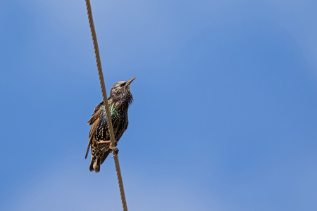 Common starling, also known as European starling bird in black with metallic sheen perching on cable with blue sky in Tasmania, Australia (Sturnus vulgaris) Stock Photo