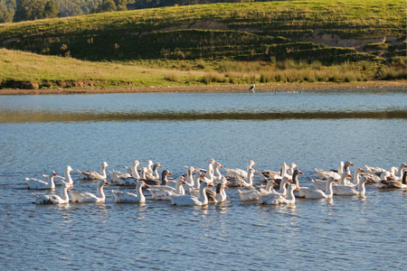 A flock of white Domestic Geese swimming in lake in afternoon, Tasmania, Australia. Domesticated grey goose are poultry used for meat, eggs, down feathers (Anser anser domesticus)   Stock Photo