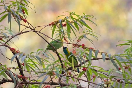 Male and female Golden-naped Barbet bird in green azure blue feeding on Orange wild Rhea tree at Kinabalu Park, endemic to island of Borneo Malaysia (Psilopogon pulcherrimus)