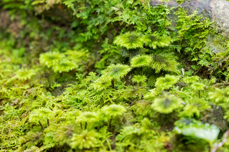 Soft focus of wet Palm Tree moss, ground moss at Kinabalu national park, Malaysia, Asia (Hypnodendron comosum)  Stock Photo