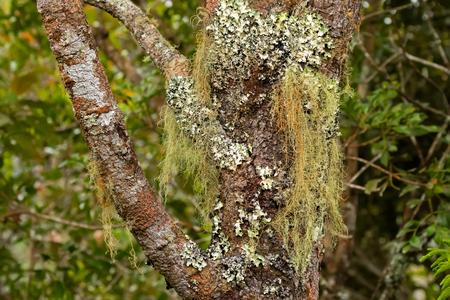 Old man's beard Fruticose lichen (Usnea) and leaf-like Foliose lichen growing on tree at Mt. Kinabalu national park, Sabah Malaysia, Asia