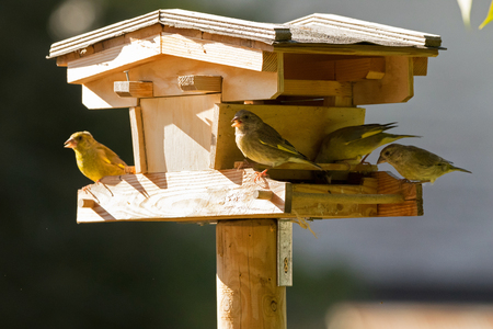 Group of European Greenfinch yellowish green birds feeding on dried sunflower seed food from wooden bird house feeder, Autumn in Austria, Europe (Chloris chloris)