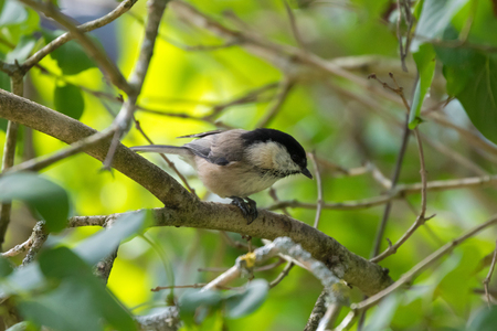 Cute little Marsh tit bird in gray with black nape, crown perching on tree branch during Autumn in Austria, Europe (Poecile palustris)