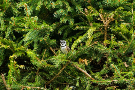 Cute European Crested Tit bird with punk hair perching on pine tree branch, Autumn in Austria, Europe (Lophophanes cristatus)