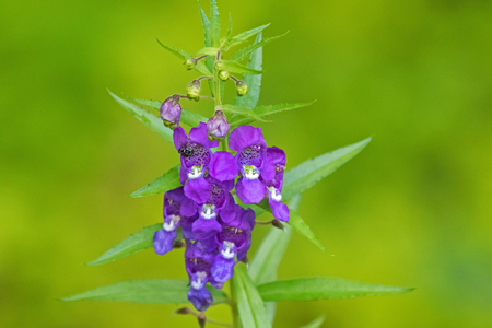 Black bug on purple violet flower of Angelonia with blurred green background