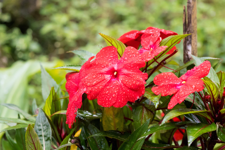 Closeup wet reddish pink Impatiens flower growing at Fraser's hill, Malaysia, Asia