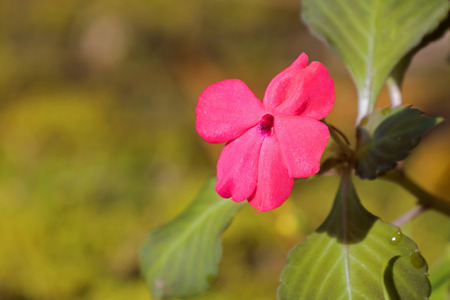 Closeup pink Impatiens flower growing at Fraser's hill, Malaysia, Asia Stock Photo