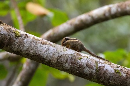 Himalayan striped squirrel, known as western striped squirrel climbing on tree branch at Fraser's Hill, Malaysia, South east Asia with blurred green background (Tamiops mcclellandii)