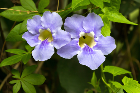 Closeup Blue trumpet vine flower in blue with yellow inside, growing in Asia (Thunbergia laurifolia)  Stock Photo