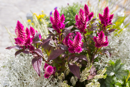 Plumed cockscomb flower (Silver cocks comb) herbaceous plant growing outdoor in the sun (Celosia argentea)  Stock Photo