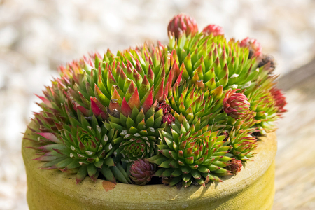 Closeup pot of Echeveria, succulents plant in green with rough red edge