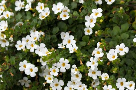 黄色花粉の白い装飾的なバコパの花の柔らかい焦点(チェノストマコルダタム)