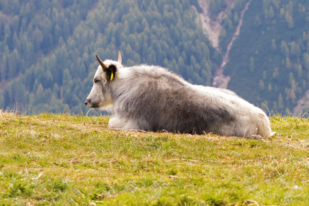 Gray Yak looking sleepy resting on high pasture with blurred pine mountain background in Italy, Europe