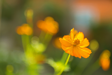 Yellow Cosmos flower, known as Sulfur cosmos with blurred green garden background (Cosmos sulphureus)