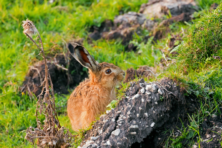 European hare (Brown hare) with brown fur, eyes, sitting in green field, Autumn in Europe  (Lepus europaeus)