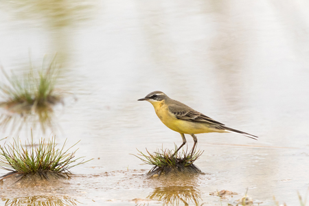 Eastern Yellow Wagtail, small passerine bird in yellow standing on wetland (Motacilla tschutschensis)