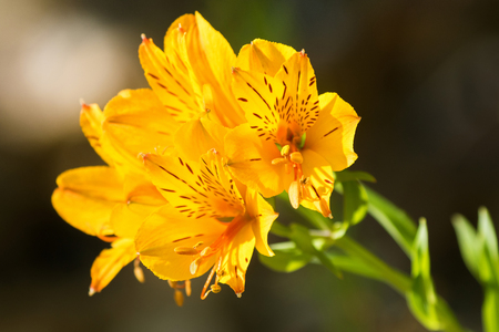 Alstroemeria flowers in yellow color also called peruvian lily alstroemeria flowers in yellow color also called peruvian lily or lily of the incas mightylinksfo