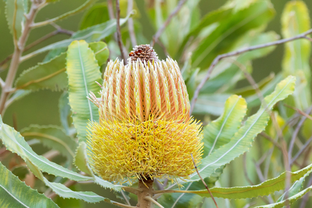 Closeup yellow flower of Firewood Banksia growing in Western Australia (Banksia menziesii)
