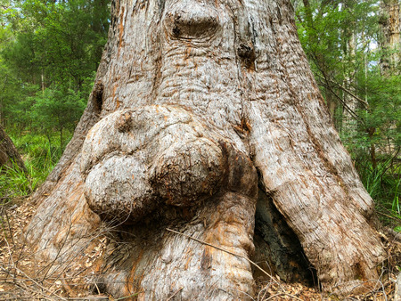 Big burls on Red Tingle tree growing at ancient empire ground walk, valley of the giants tree top walk, Walpole-Nornalup National Park, Western Australia (Eucalyptus jacksonii)