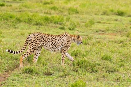 Cheetah, fastest land animal with spotty markings, beautiful long striped tail walking in open grassland at Serengeti National Park in Tanzania, East Africa